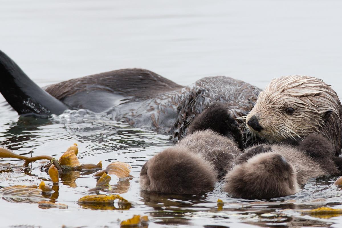 Mladunci morske vidre sa svojom majkom