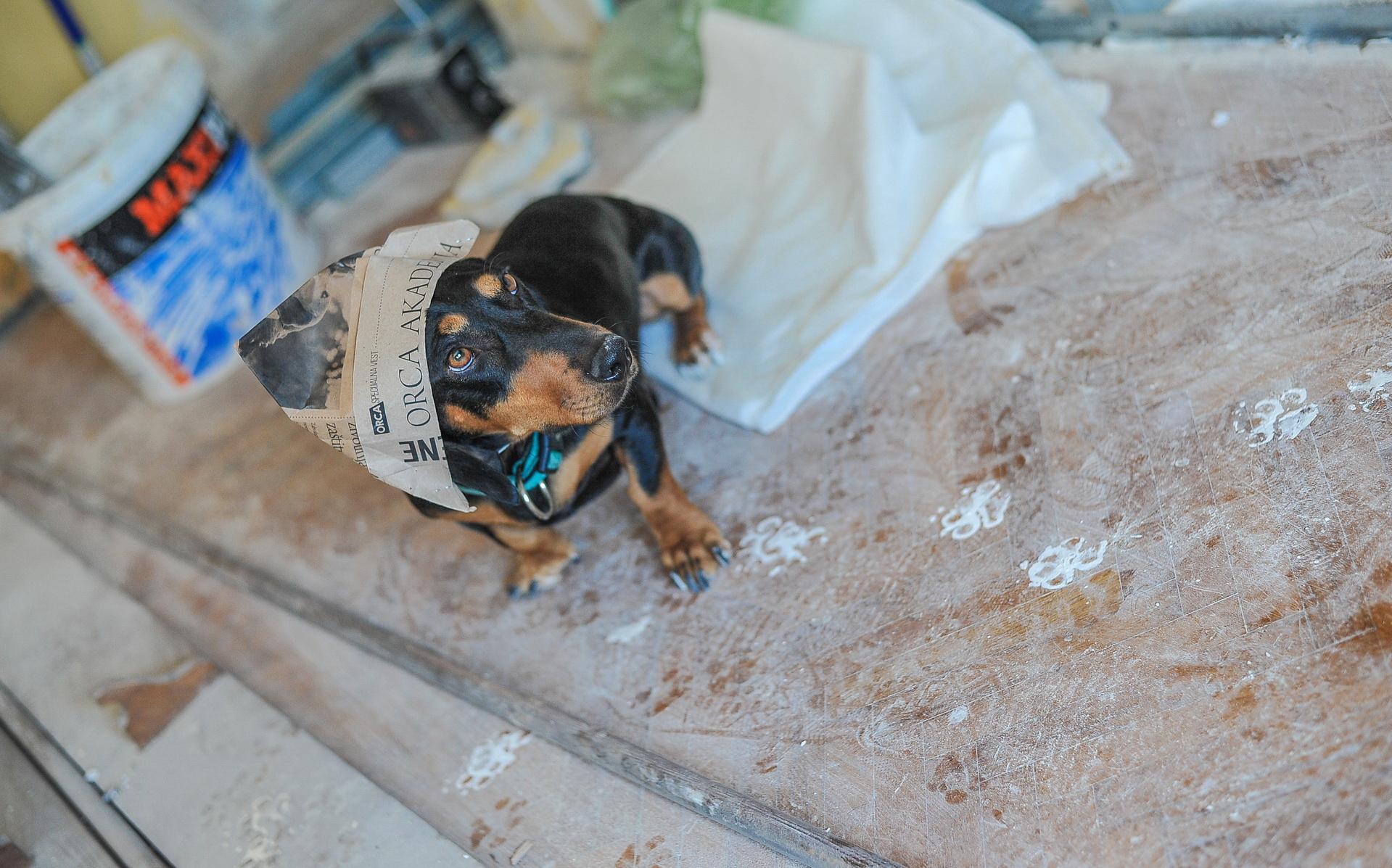 Pas Laki učestvuje u krečenju stana