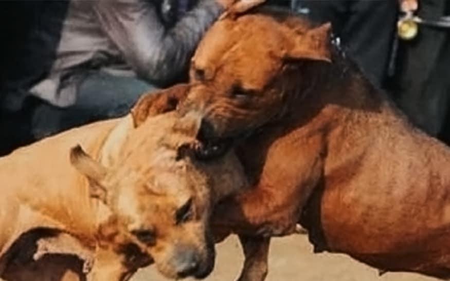 Otkrivena ilegalna borba pasa u Crnoj Bari