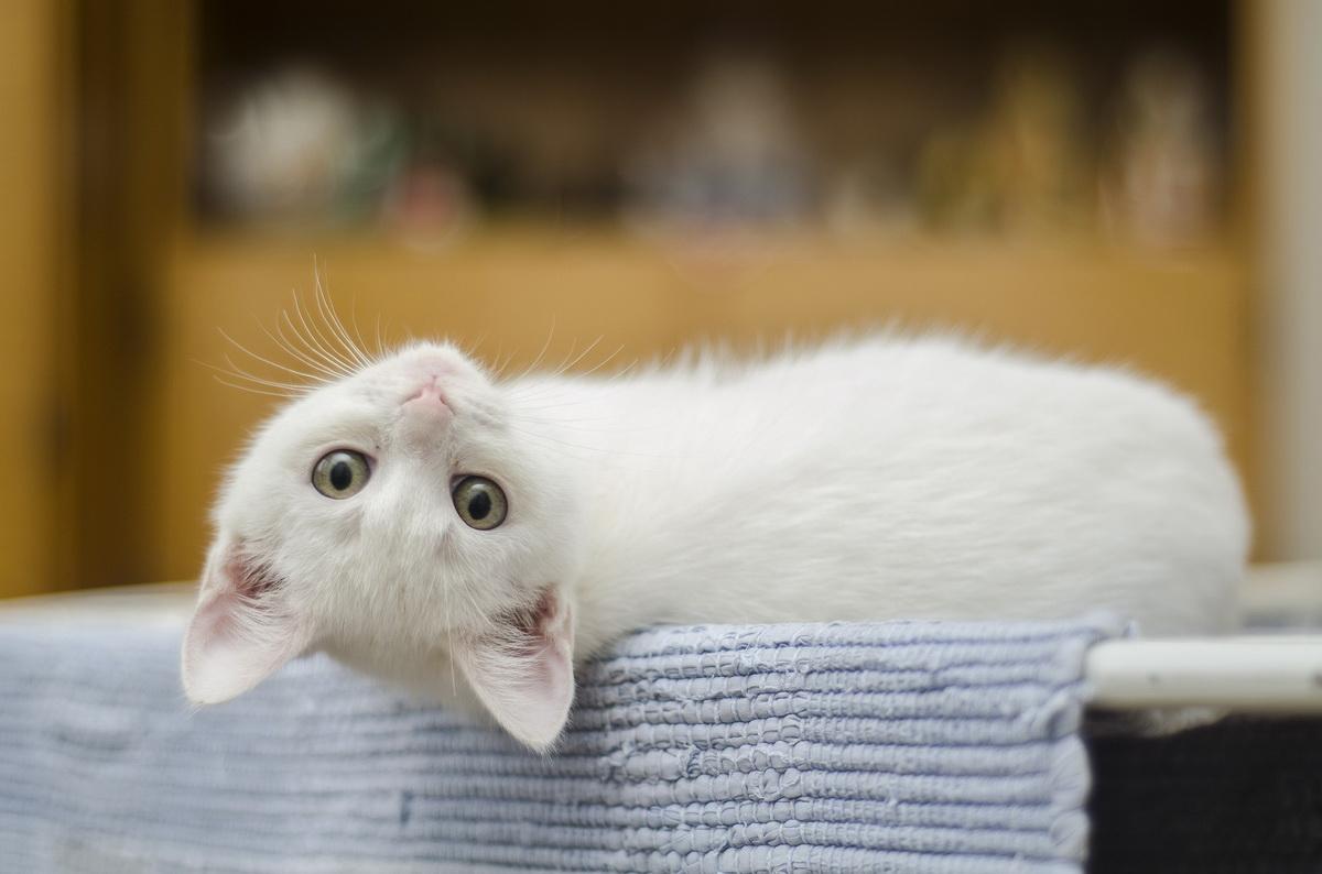 Bela mačka leži na leđima i tužnog gleda