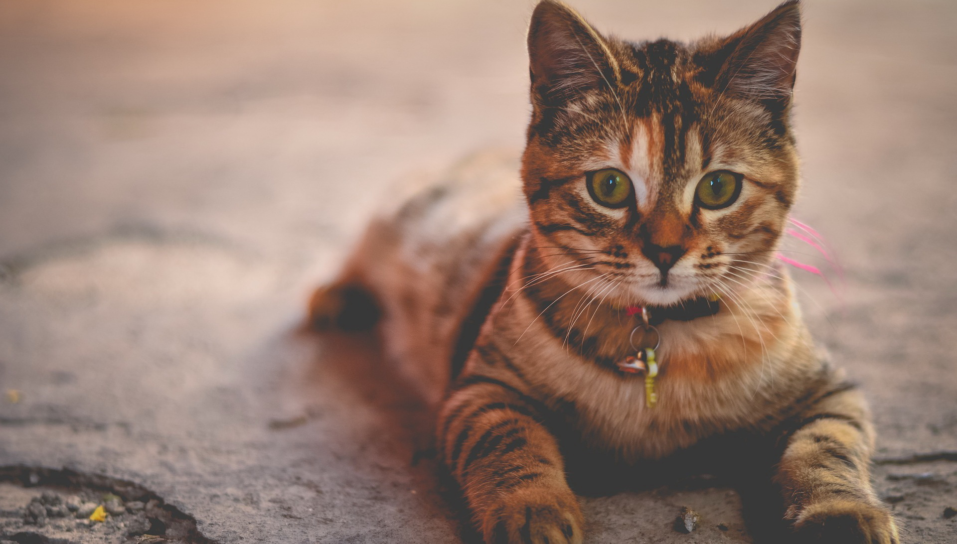 Siva mačka leži na betonu