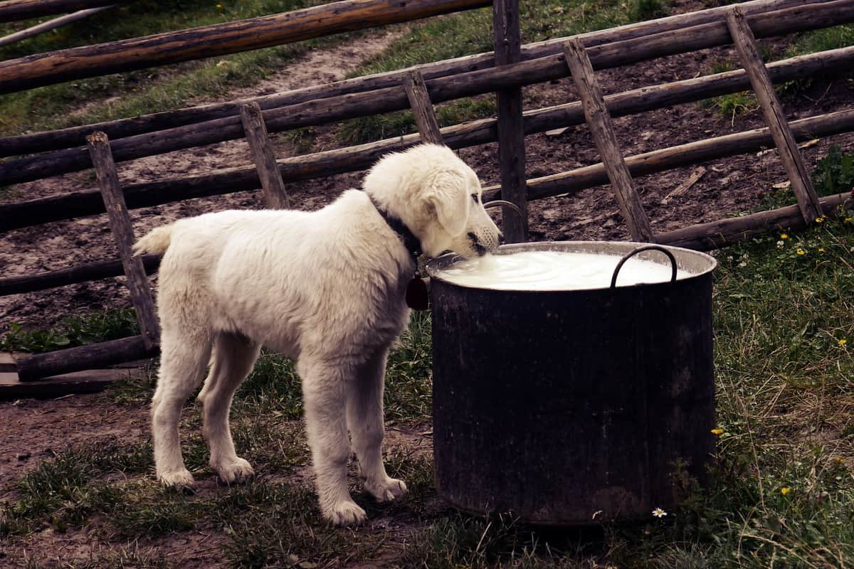 Štene pije mleko iz velike crne šerpe