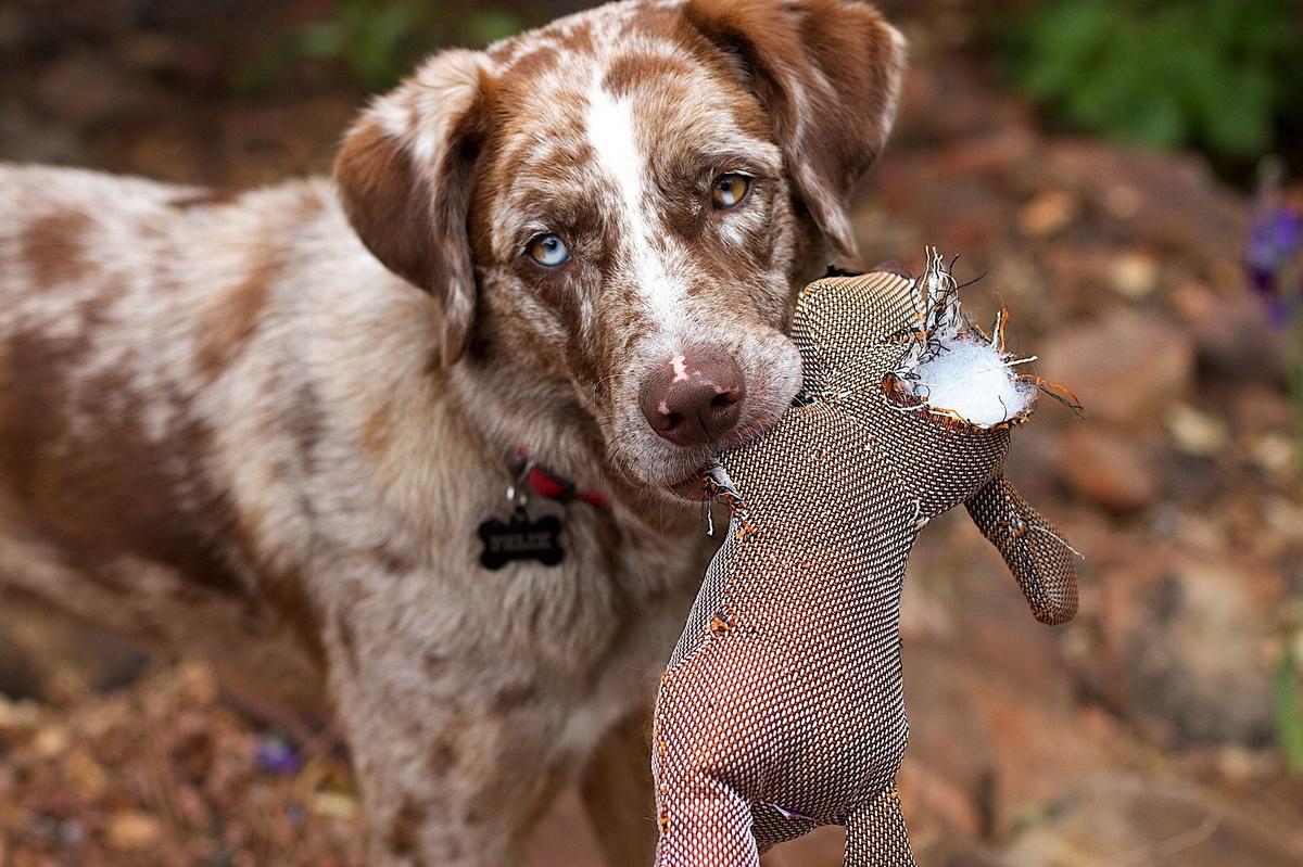 Pas drži pocepanu igračku u zubima