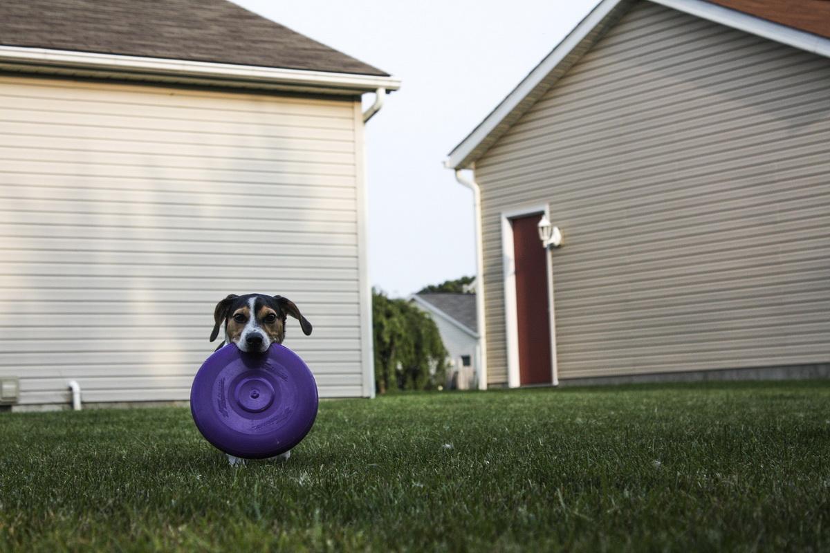 Pas sedi u dvorištu i drži frizbi u zubima