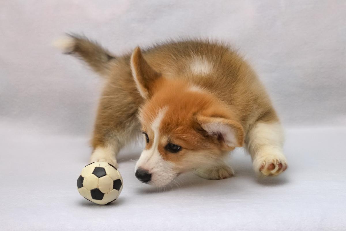 Pas se igra sa lopticom