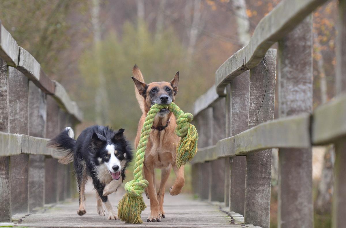 Dva psa se igraju na mostu
