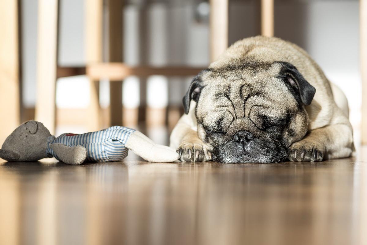 Pas spava pored svoje igračke