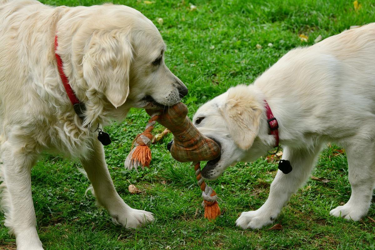 Dva psa se igraju u dvorištu