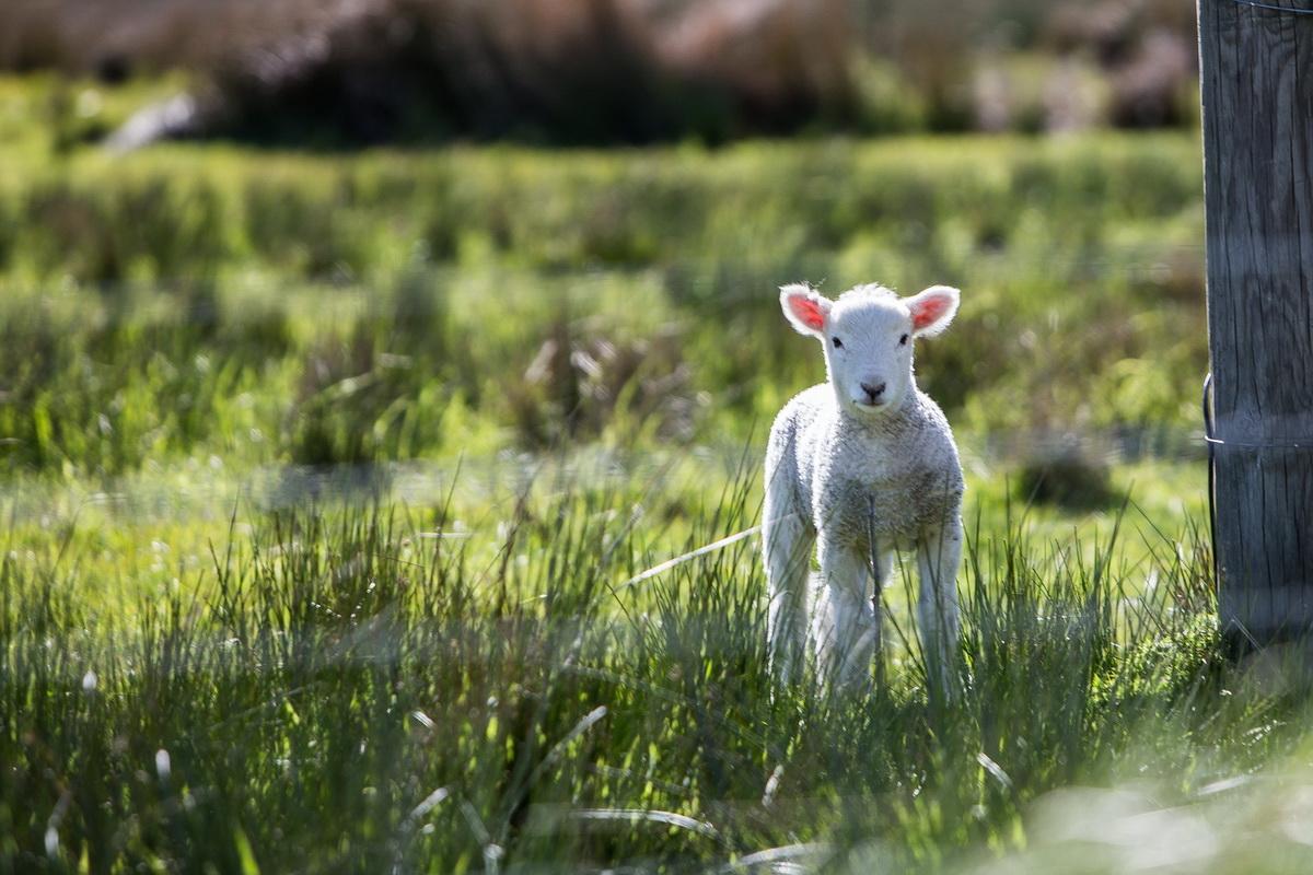 Jagnje stoji na livadi i čeka