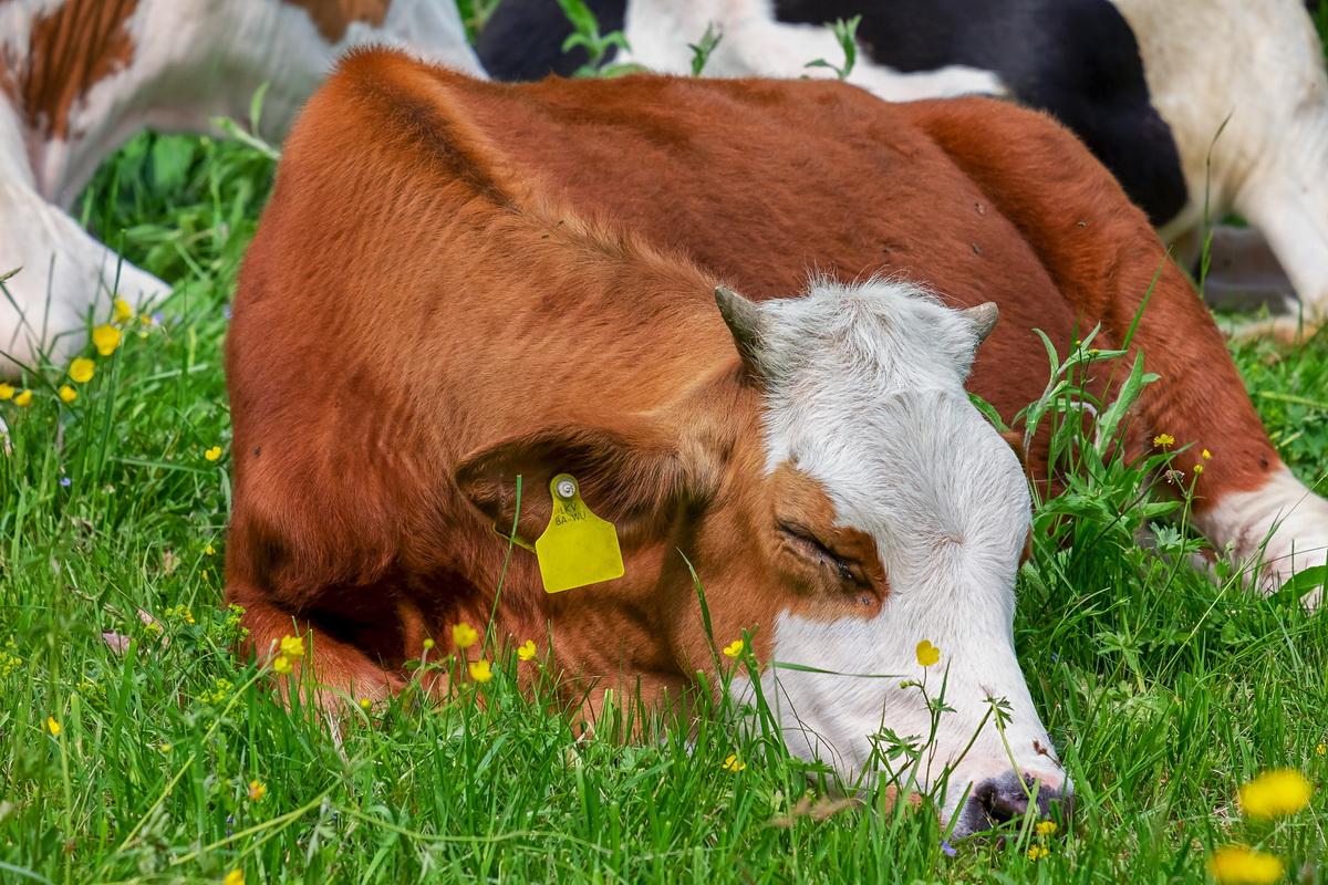 Krava spava na livadi