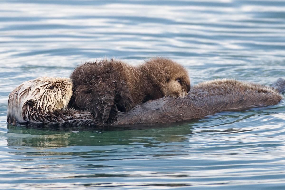Morska vidra i njeno mladunče u vodi