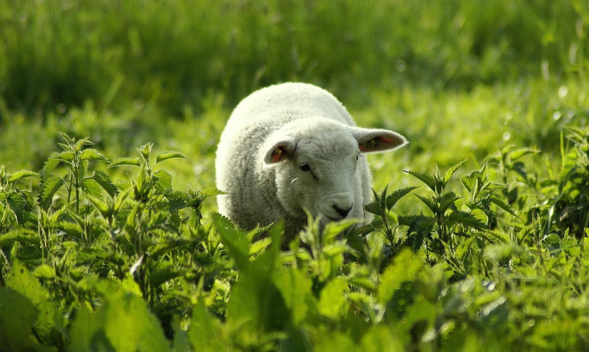 Bela ovca jede travu