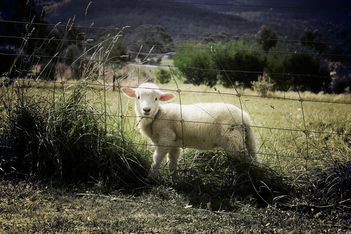 Jagnje stoji iza žice i tužno gleda