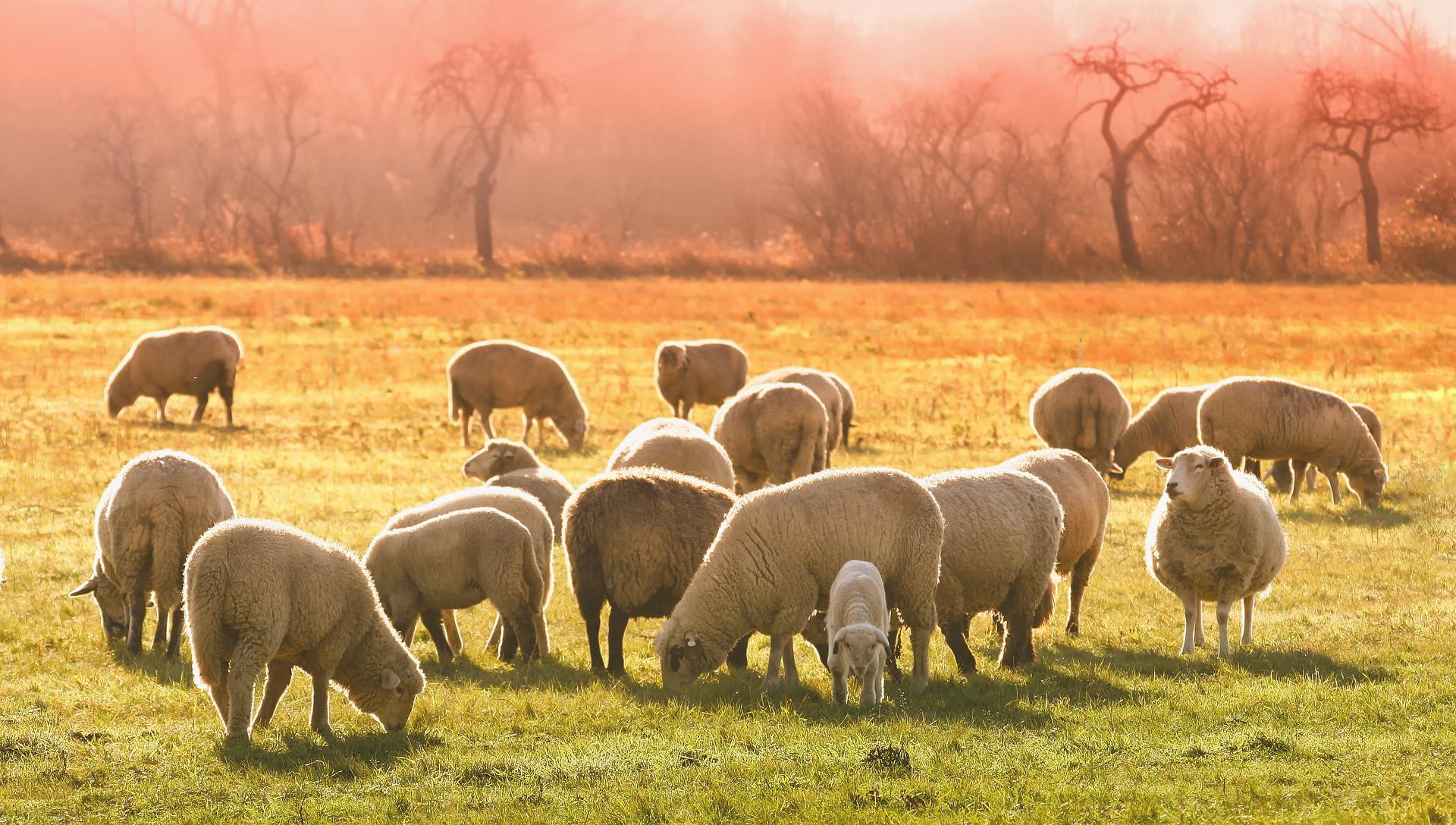 Ovce na ispaši