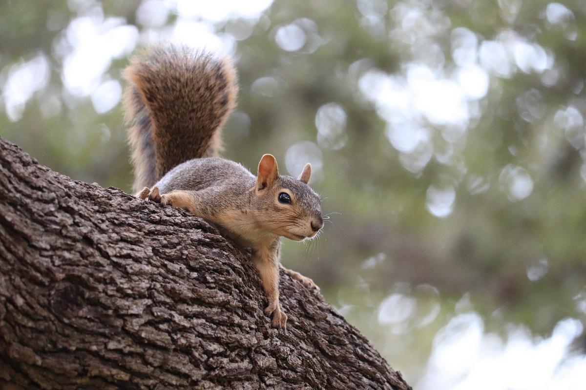 Veverica leži na stablu drveta