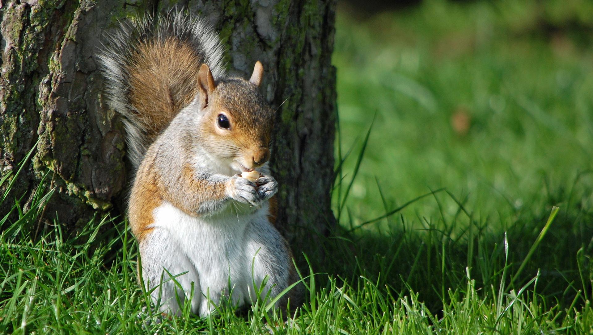 Veverica jede lešnik
