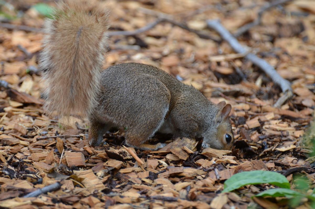 Veverica zakopava zalihe hrane za zimu