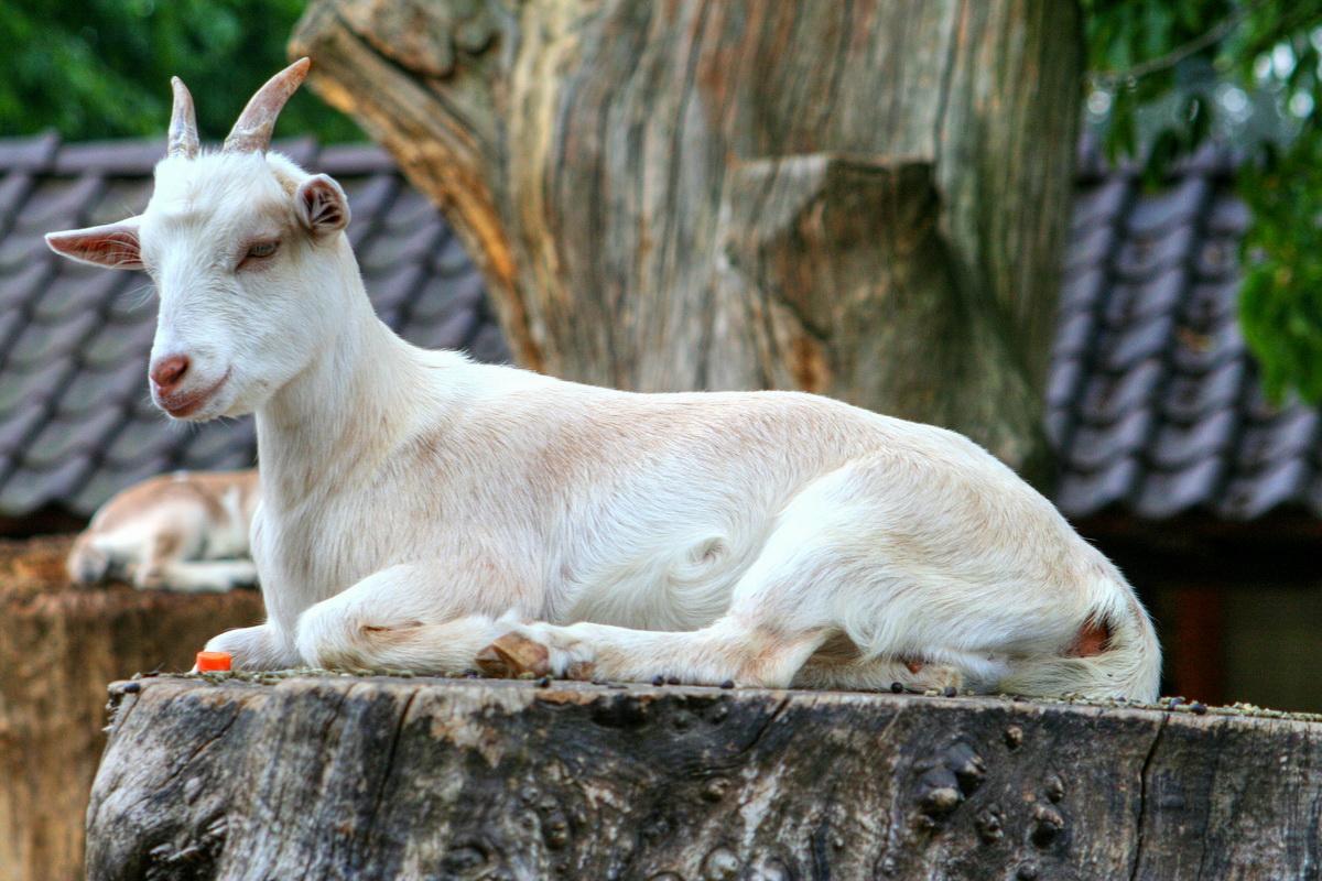 Koza leži na panju i odmara