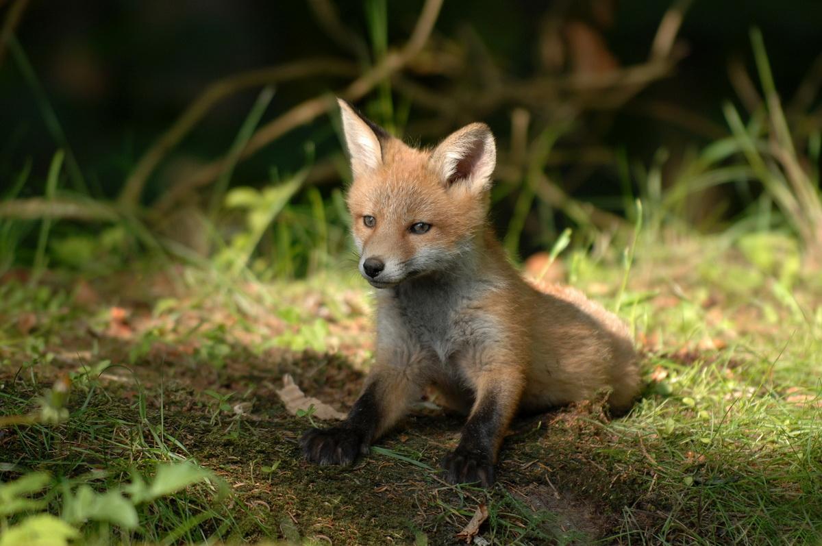 Mladunče lisice leži u šumi