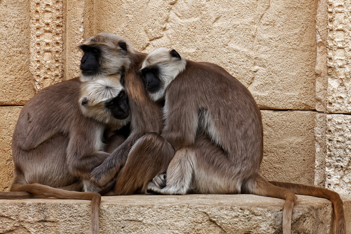 Tri zagrljena majmuna sede ispred hrama u Indiji