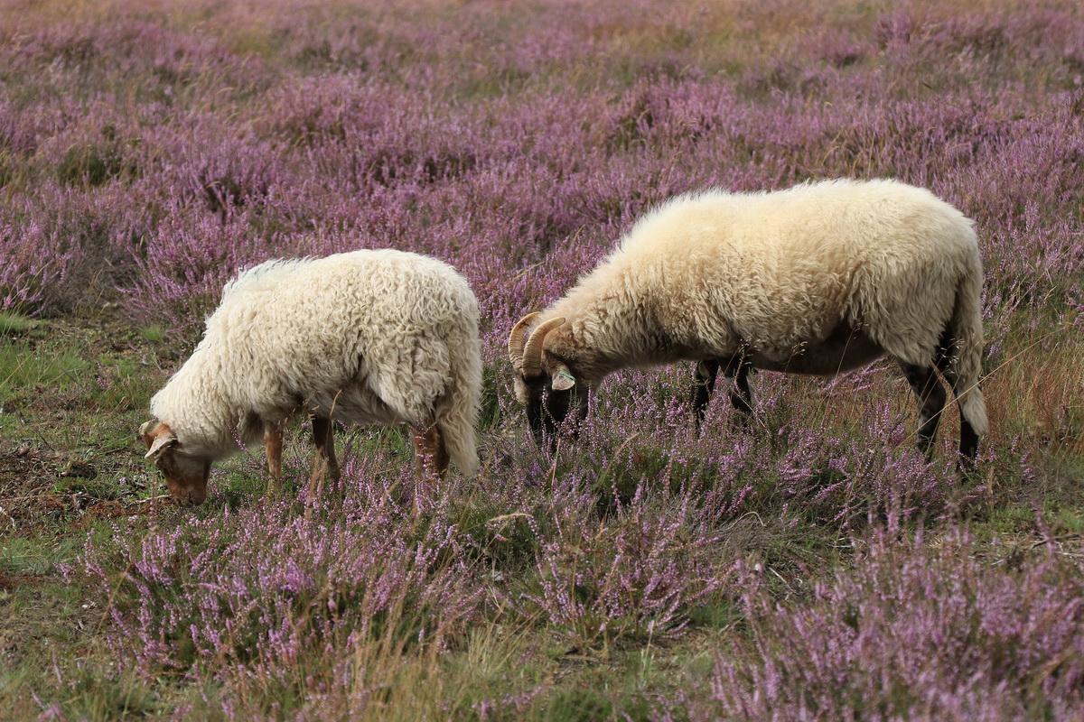 Ovca i ovan na ispaši