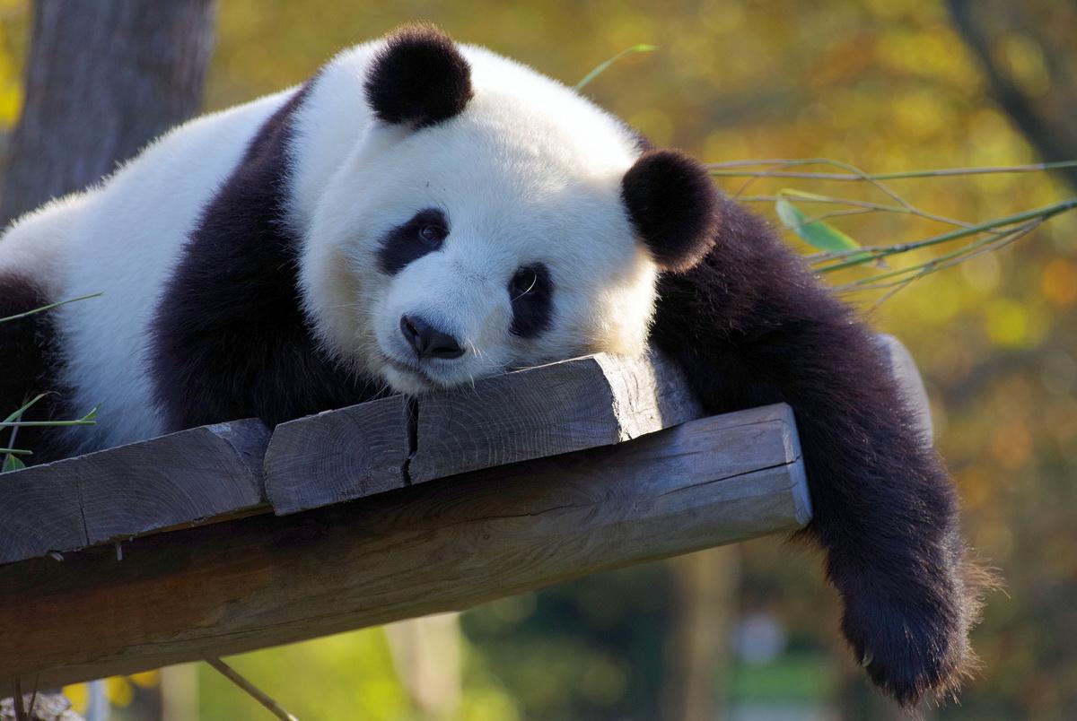 Panda spava