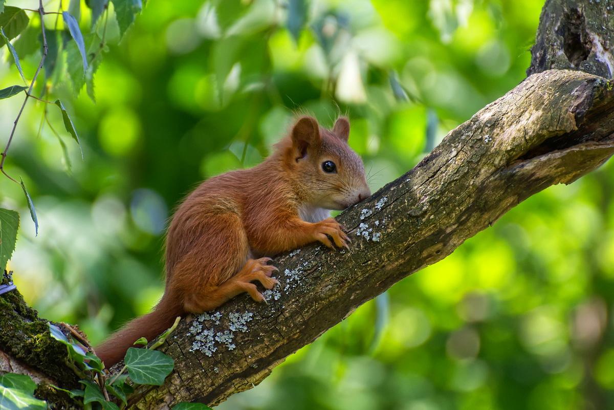 Veverica se penje uz drvo