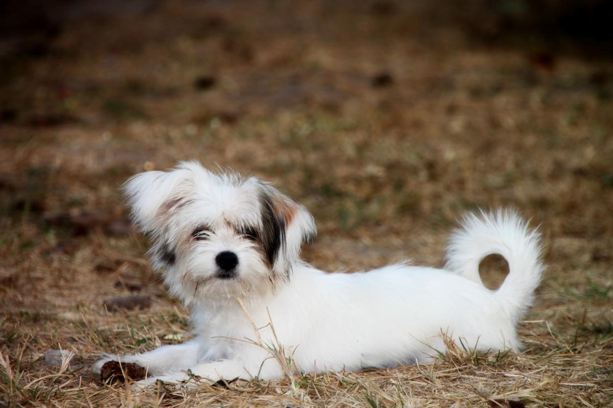 Mali pas maltezer leži na livadi.