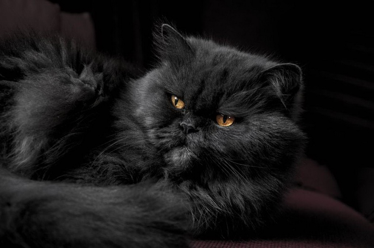 Crna persijska mačka leži i odmara.