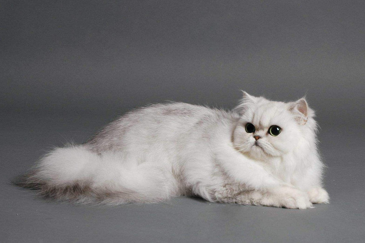 Miran karakter bele persijske mačke