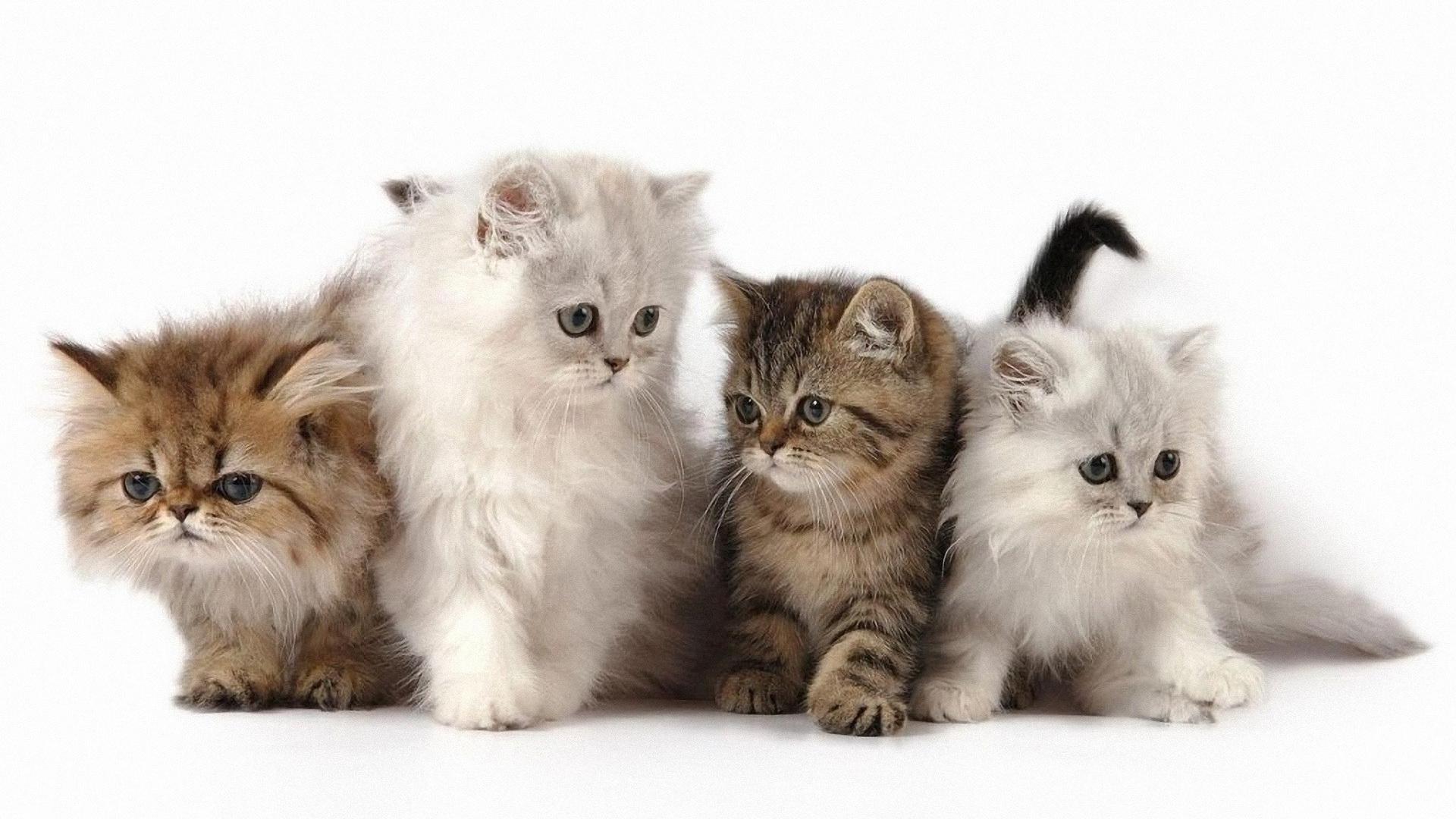 Persijska mačka - mačići
