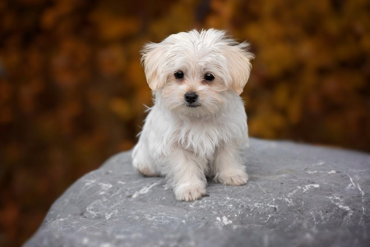 Odabir psa rase maltezer