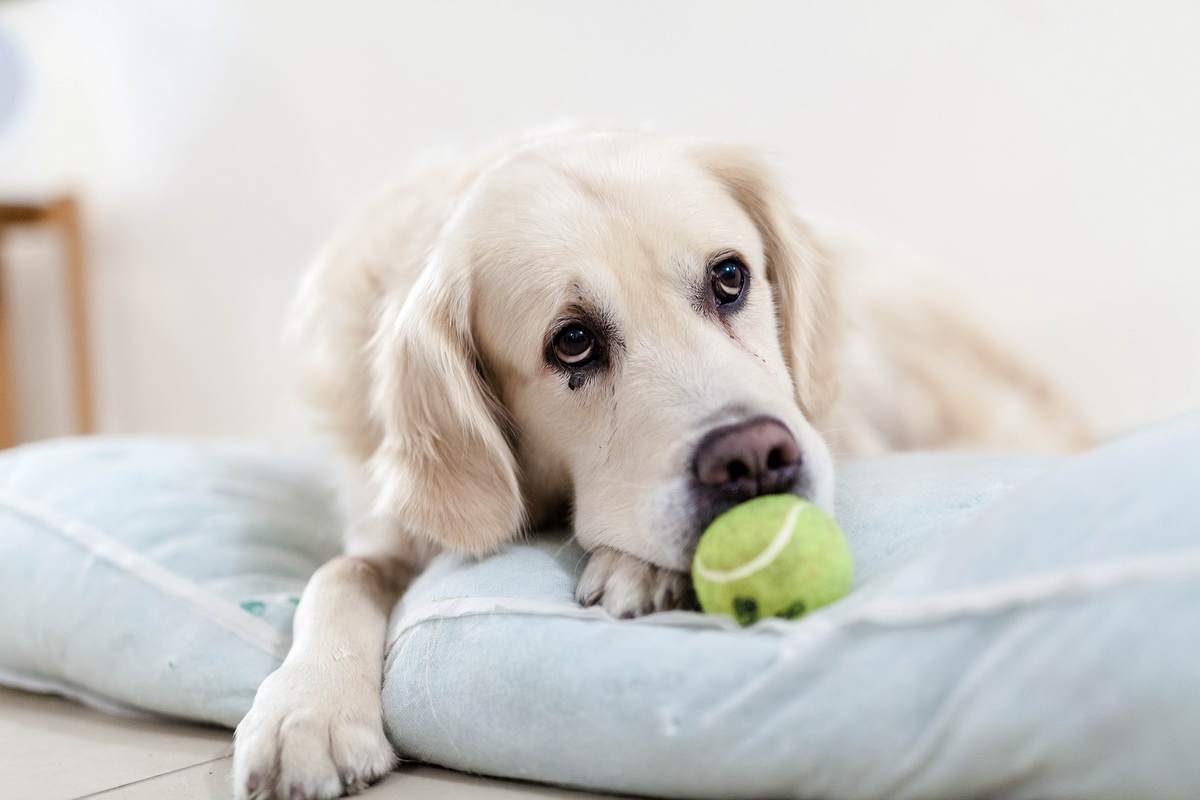 Tužan pas leži na jastuku i igra se sa lopticom