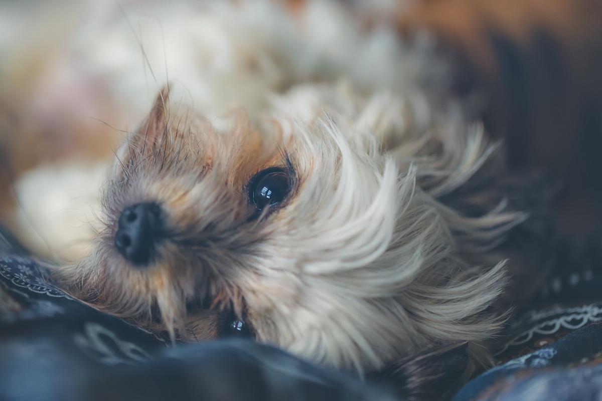 Tužan pas leži na krevetu