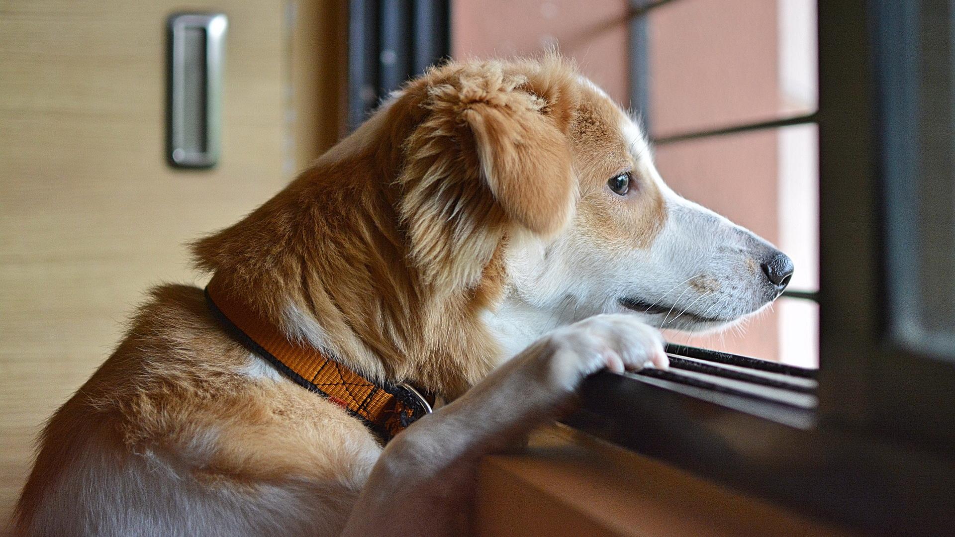 Separaciona anksioznost psa