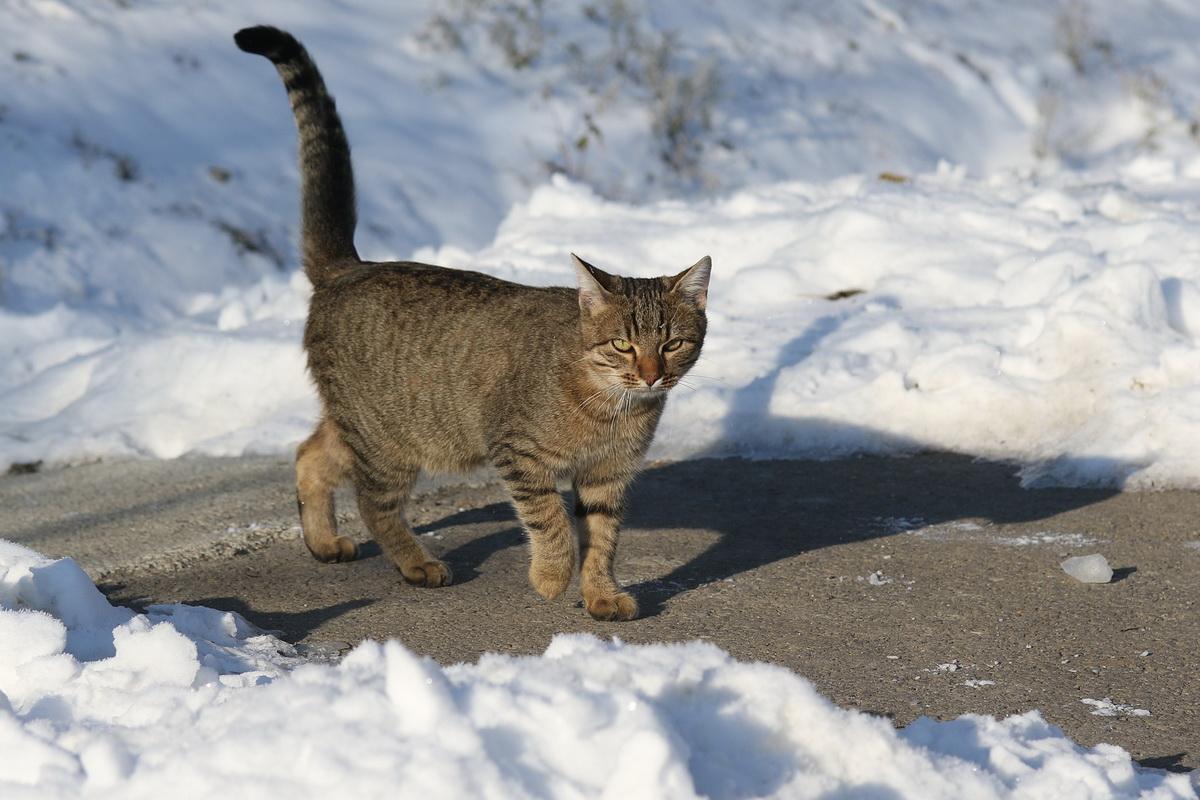 Kućni ljubimac - mačka na snegu