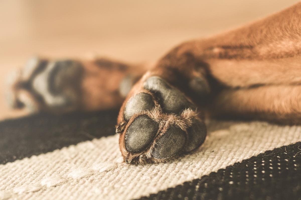 Šapa psa sa skraćenim noktima