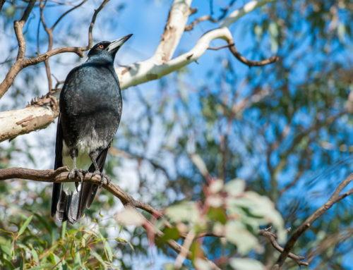 Lepe vesti iz Australije: Priroda se oporavlja od požara!