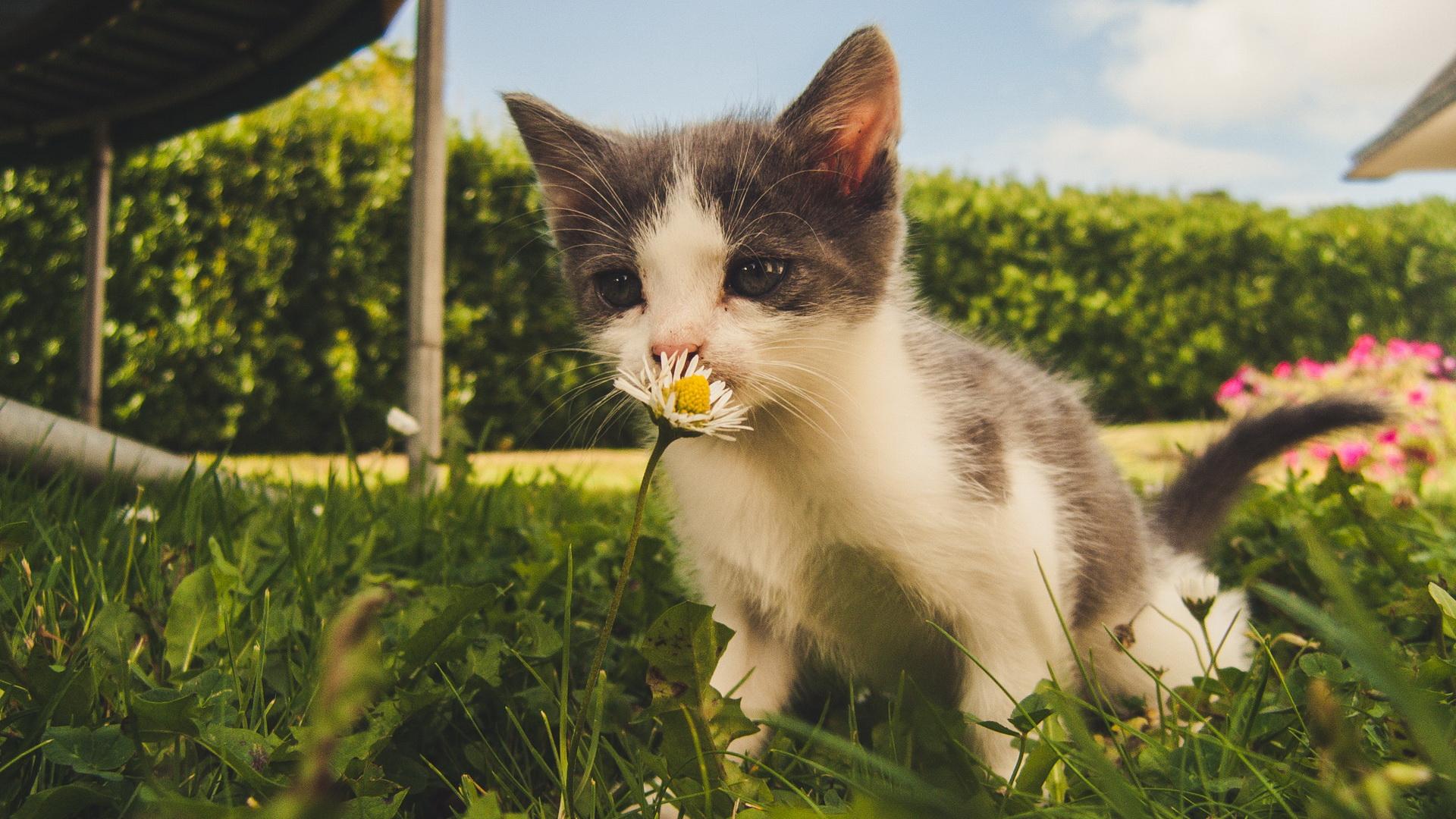 Mačka kao ljubimac miriše cveće u bašti