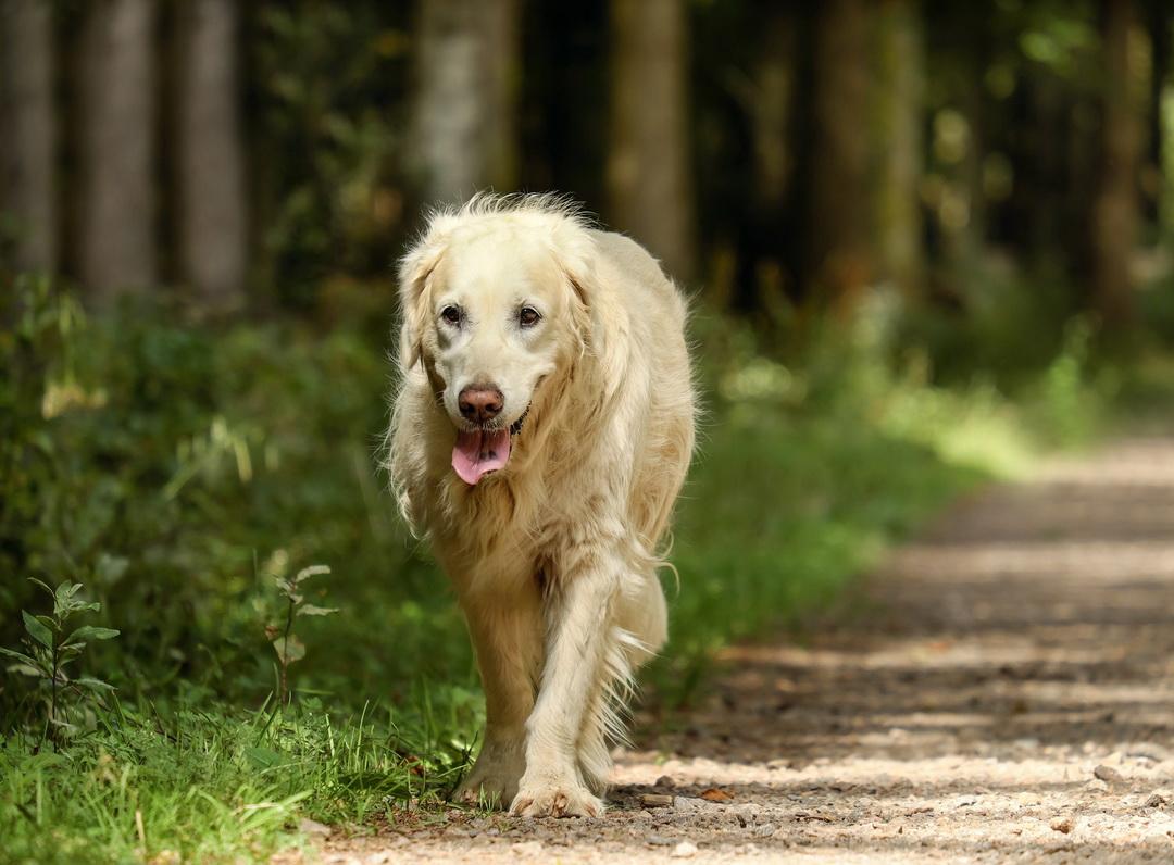 Zlatni retriver - odrastao pas šeta ulicom