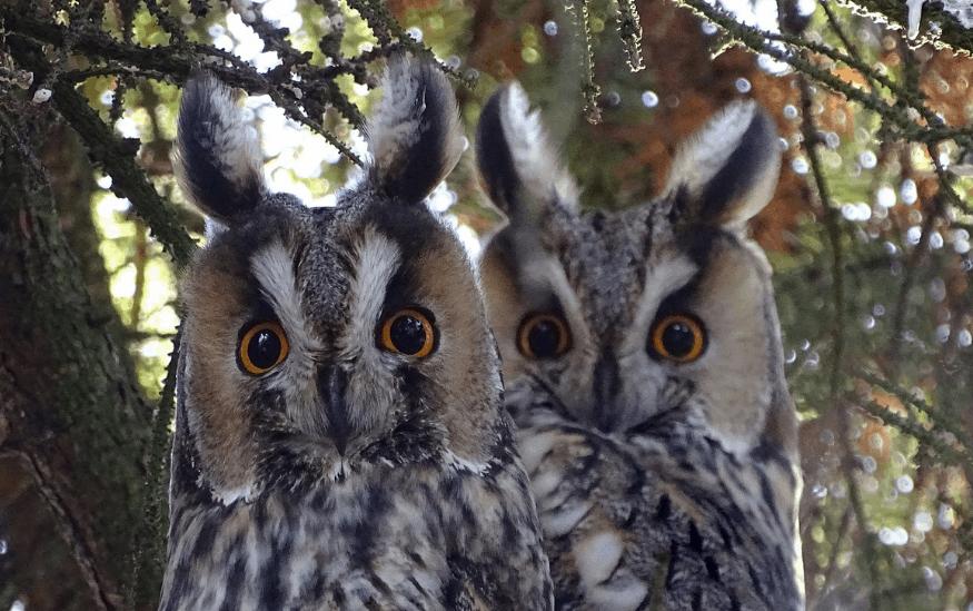 Sova ušara je korisna i ljupka gradska ptica