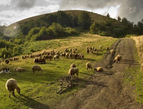 Životinje i ljudi u karantinu: DOMAĆI biseri Stare planine