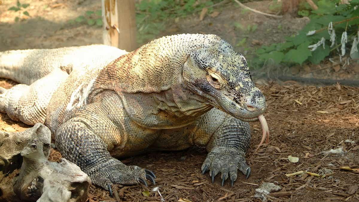 Komodo zmaj leži na zemlji.