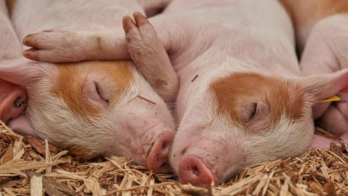 Svinje spavaju u toru