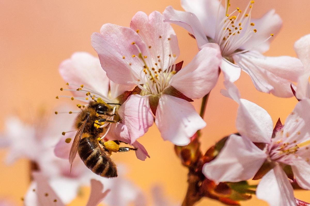 Slika prirode - pčela oprašuje cveće.