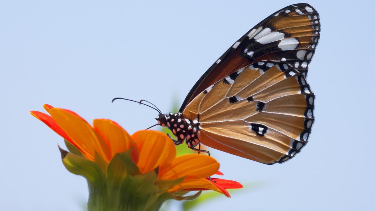 Priroda i leptir - sletanje leptira na cvet.