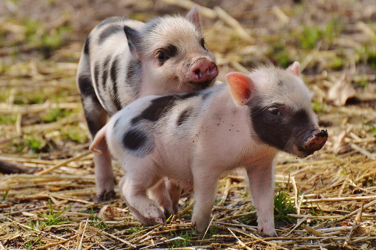 Male svinje - prasići igraju se na senu