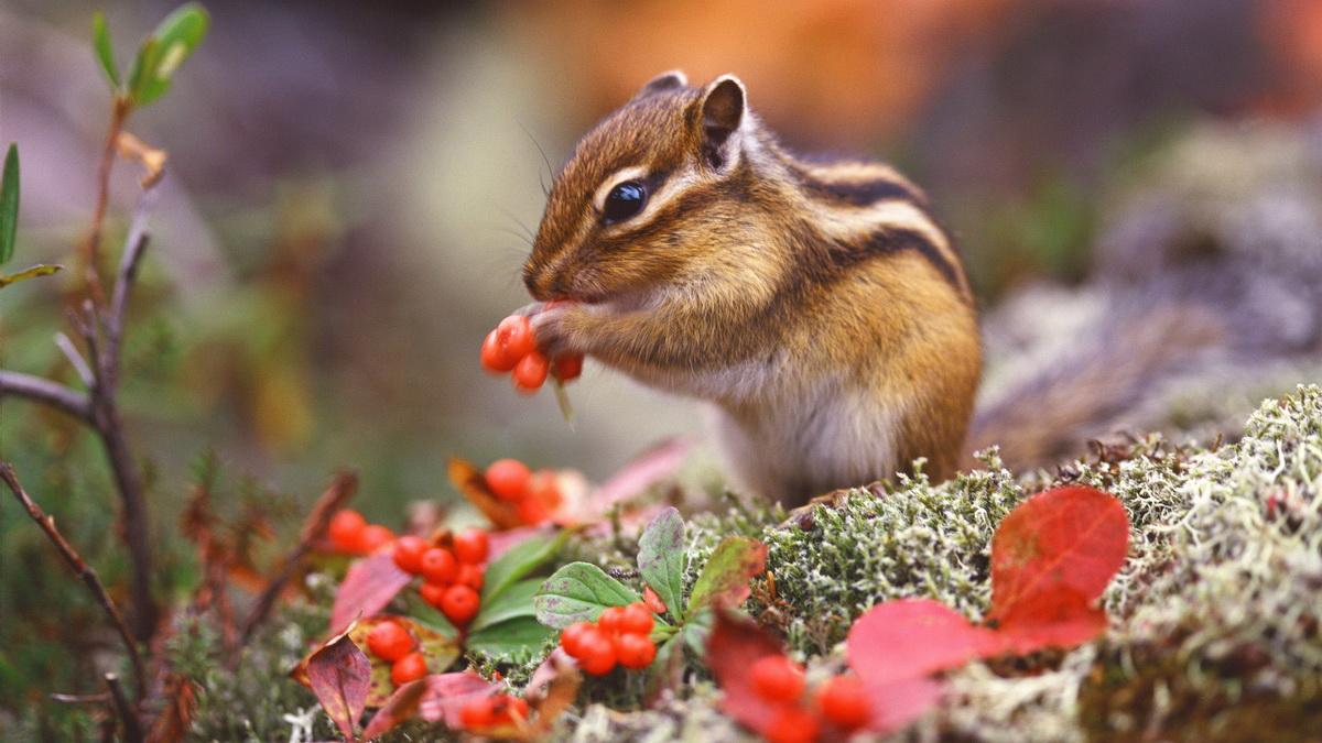 Divlja životinja - vevericasedi i jede lešnik.