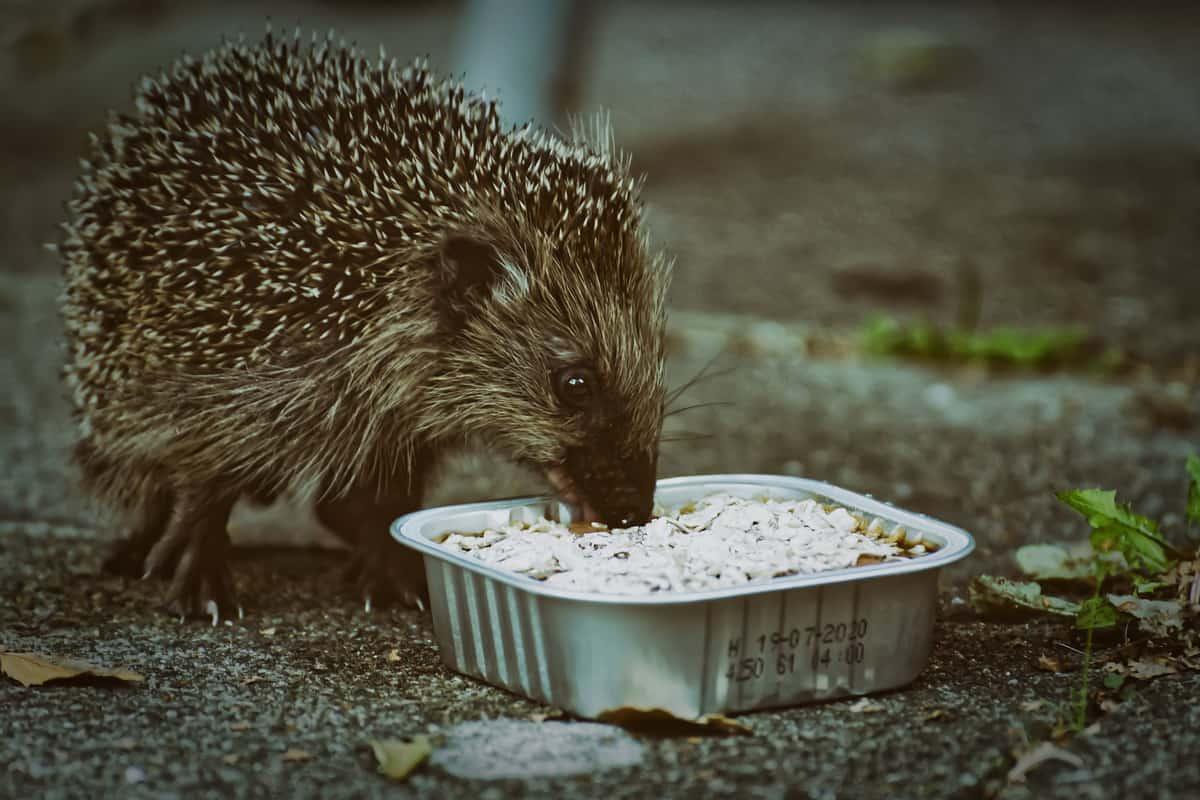 Divlja životinja - jež jede hranu iz činijice