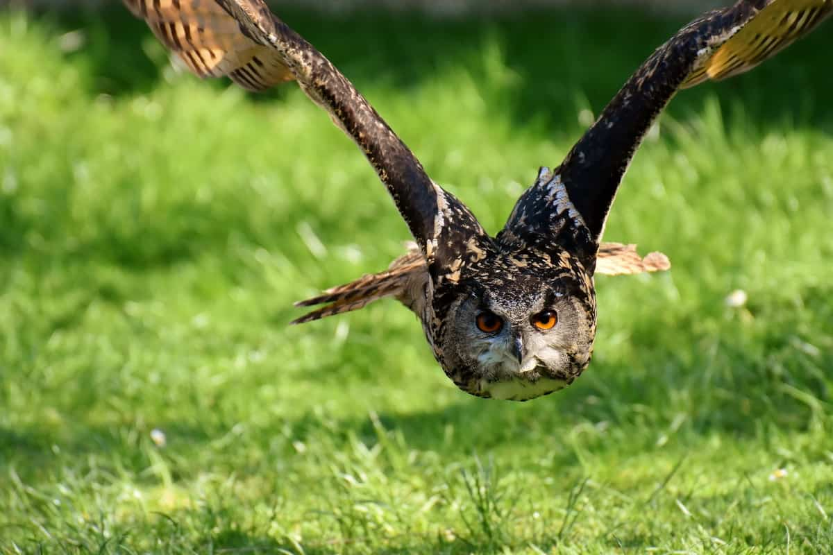 Divlja životinja - sova, napada plen u letu.